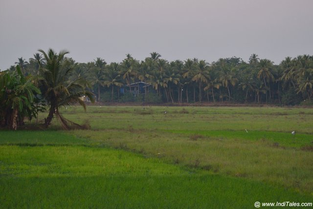 Lush green paddy fields lined by coconut trees of the village