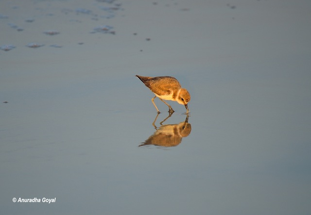 Kentish-plover bird with its reflection