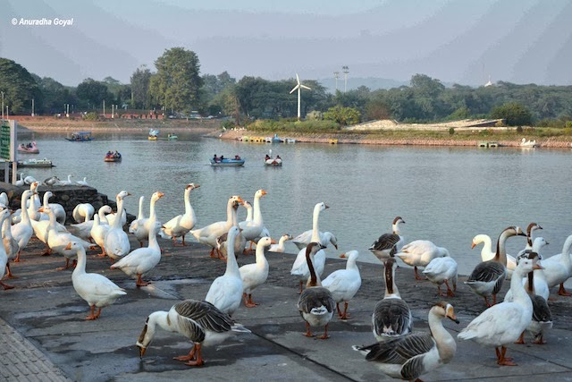 Birds by the Sukhna Lake