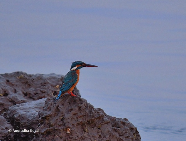 Common Kingfisher bird by the river looking for the prey