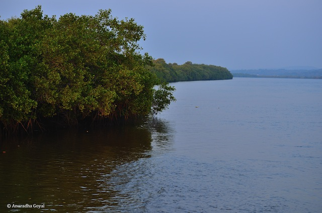 Mangroves by the Mandovi river