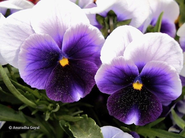 Violet Pansy Flowers