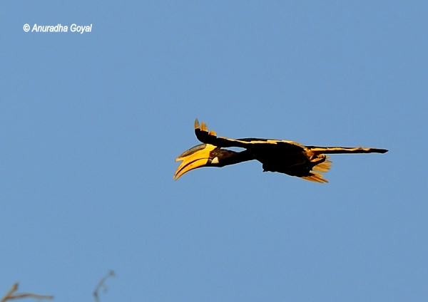 Male Malabar Pied Hornbill in-flight at Dandeli