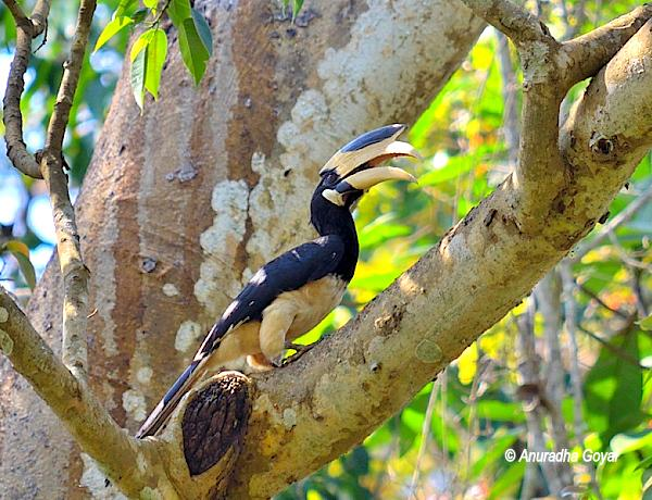 Male Malabar Pied Hornbill resting in the shadow