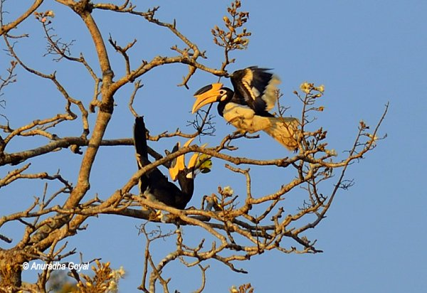 Playful Hornbills at Dandeli