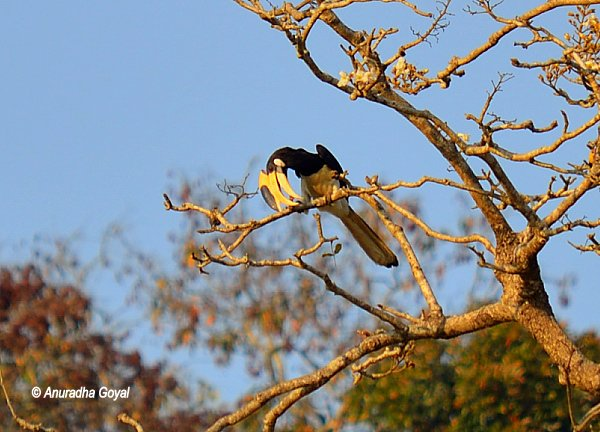 Wildberry in the beaks of Hornbill