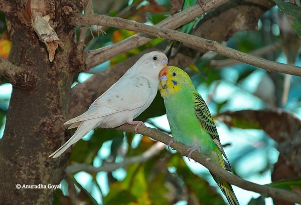 Lovebirds at Butterfly conservatory