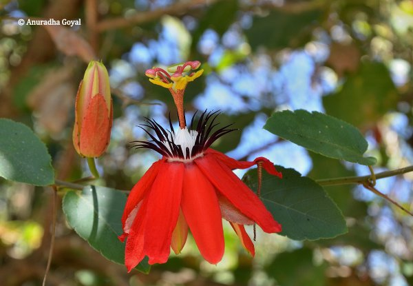 Passiflora coccinea or Red Passion flower