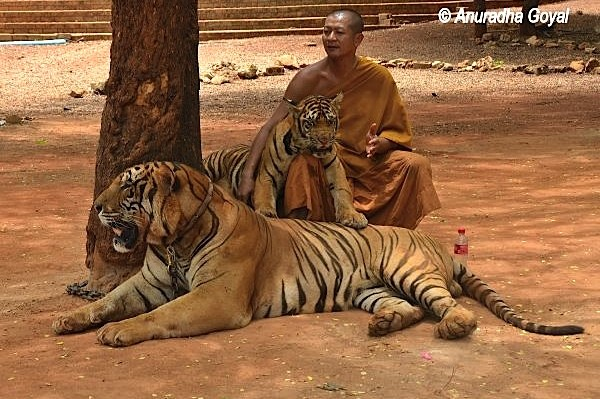 Buddhist monk with Tigers at Tiger Temple