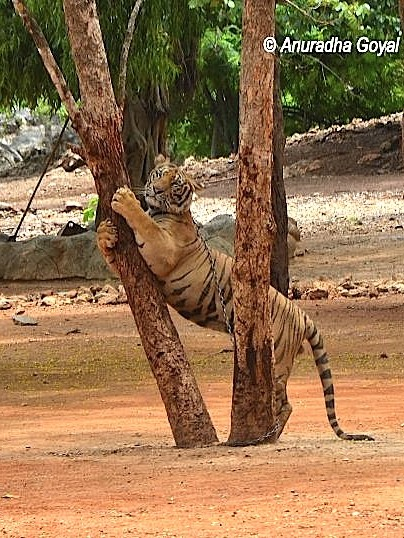 Chained Tiger Hugging the Tree