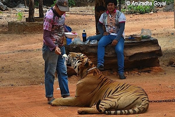 Feeding noodles to a Tiger with spoon