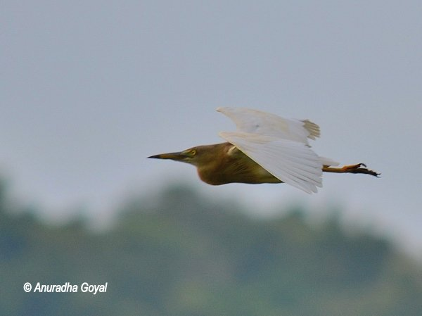 Indian Pond Heron in-flight