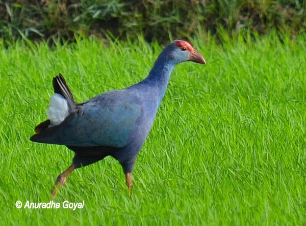 Purple Swamphen strolling in the lush green fields of Maina, Curtorim, Goa