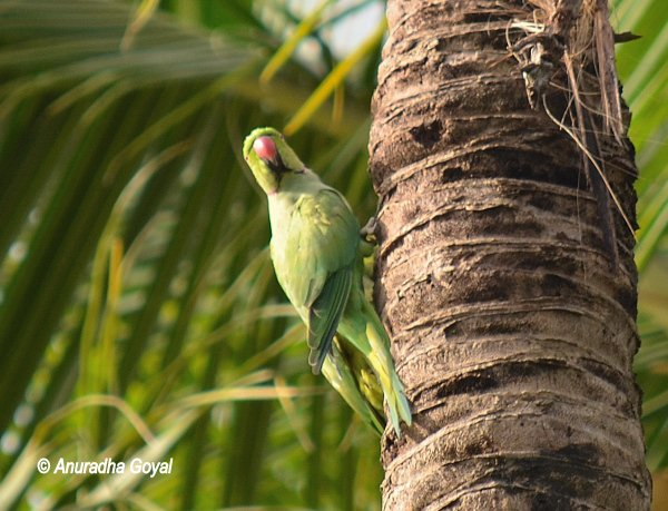 Rose-ringed Parakeet near the nest on coconut tree at Maina, Curtorim, Goa