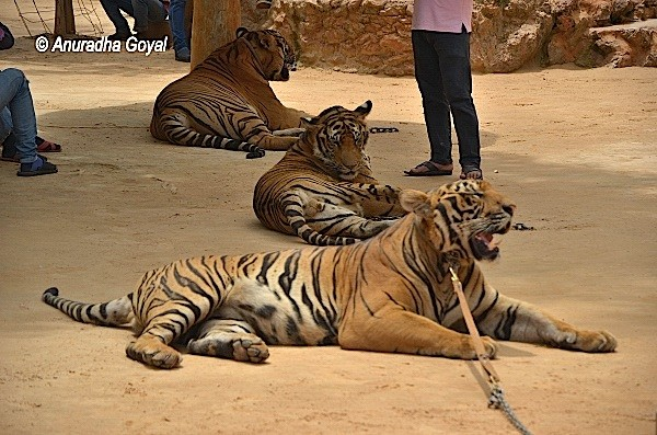Rows of tigers tied to the trees