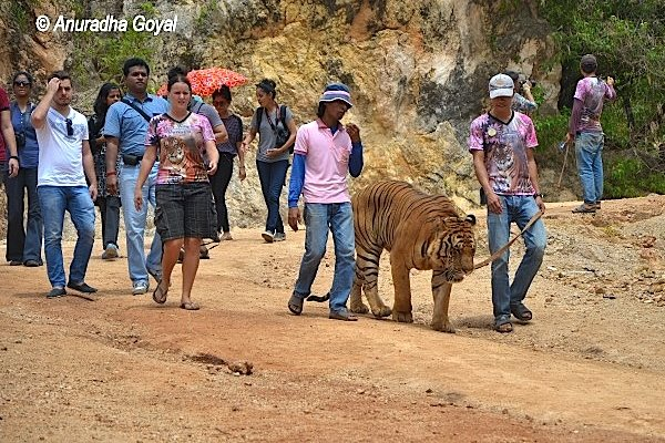 Volunteers walking a Tiger