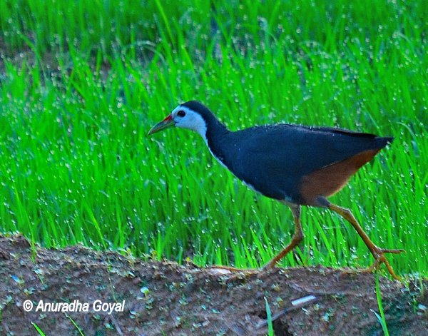 White-breasted Waterhen in the paddy fields of Maina, Curtorim, Goa