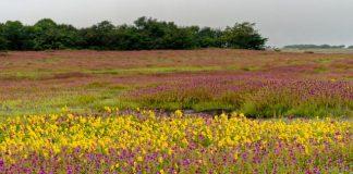 Colorful floral landscape during the monsoons at Kaas plateau, Satara, Maharashtra