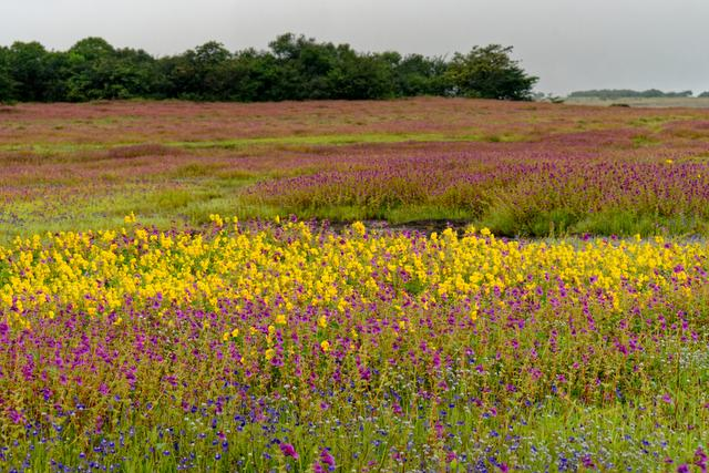 Colorful floral landscape during the monsoons at Kaas plateau, Satara, Maharashtra