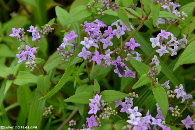 Neanotis Foetida or Foetid Starviolet