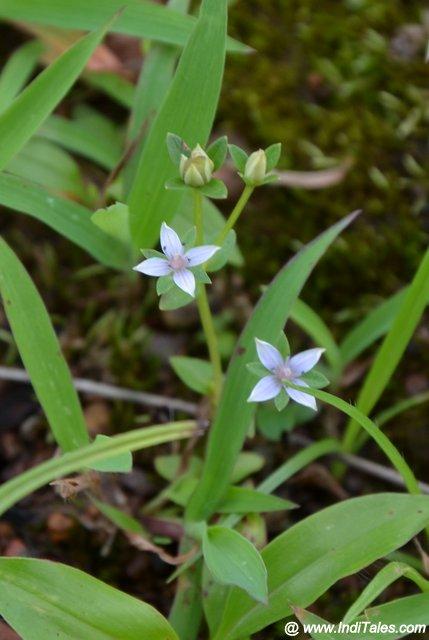 Neanotis Subtilis Foetid Starviolet