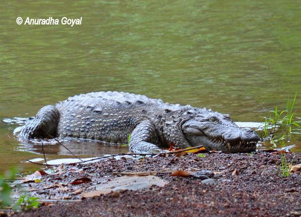 Crocodile at a local pond en route Bondla Wildlife Sanctuary