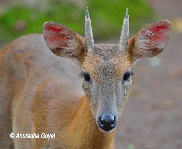 Indian Barking Deer