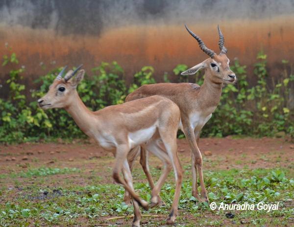 Indian Blackbuck Deer