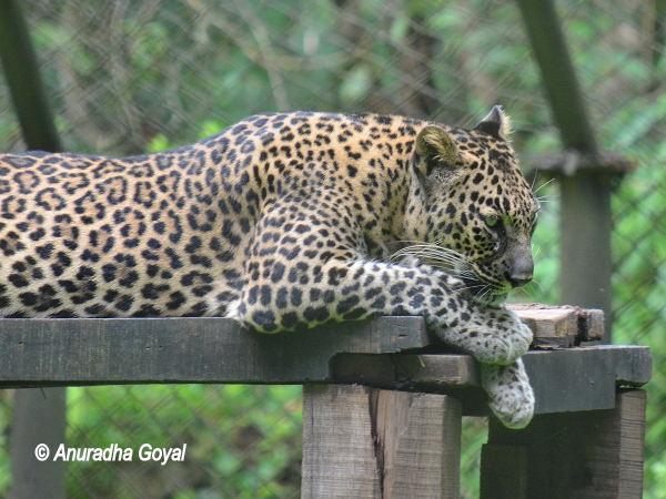 Leopard at Bondla Zoo