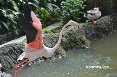 Lesser Flamingo taking-off at KL Bird Park
