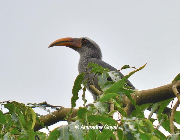 Malabar Grey Hornbill at Bondla Wildlife Sanctuary, Goa