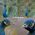 Peafowl at Bondla Zoo