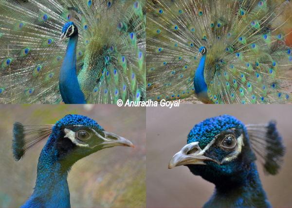 A collage of Peafowl at Bondla Wildlife Sanctuary & Zoo, Goa