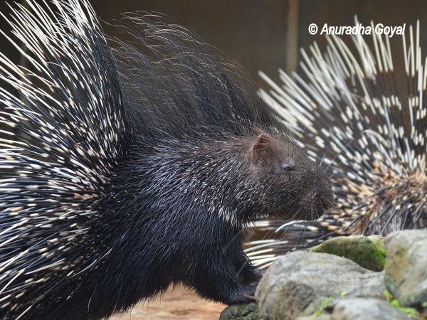 Porcupine at Bondla Zoo