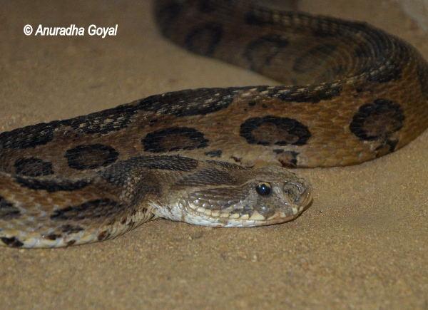 Python Snake at Bondla Zoo