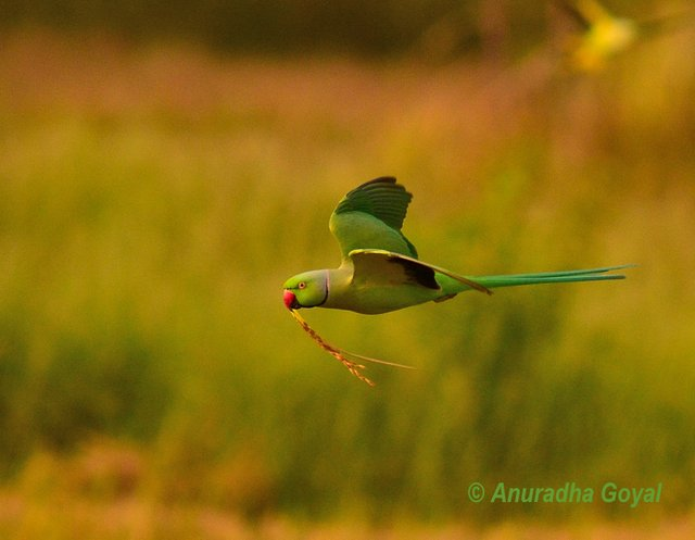 Sunday Shot: Rose-ringed Parakeet in-flight