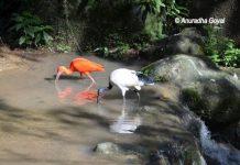 Scarlet Ibis & African sacred Ibis at KL Bird Park