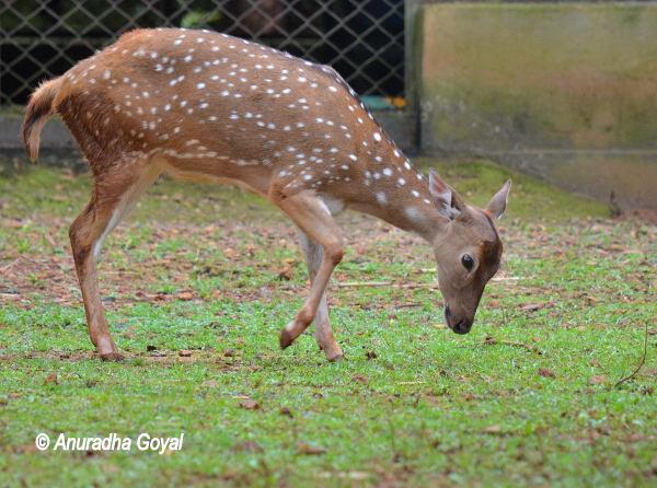 Spotted Deer at Bondla Zoo