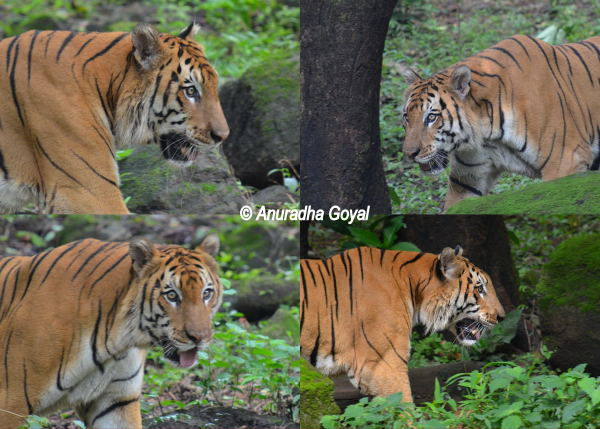 A collage of Bengal Tiger at Bondla Zoo