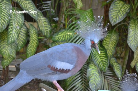 Victoria Crowned Pigeon at KL Bird Park