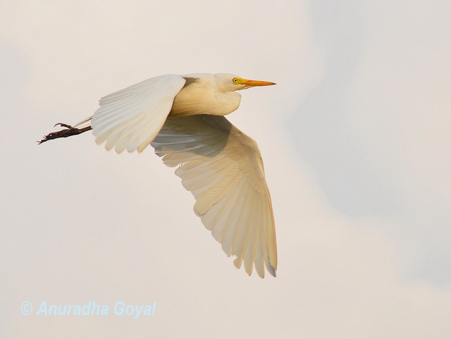 Cattle Egret in-flight
