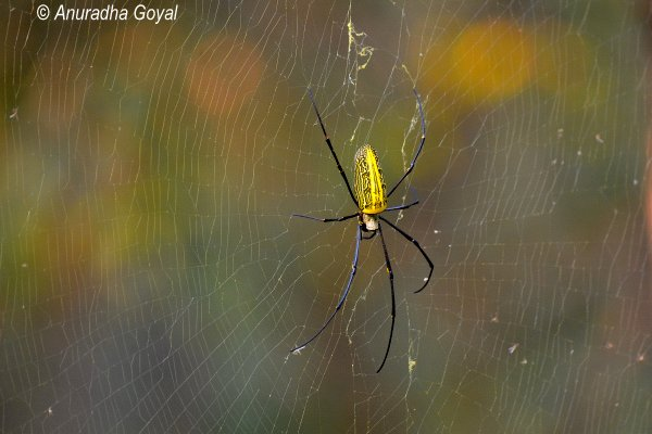 Giant Spider at Satpura