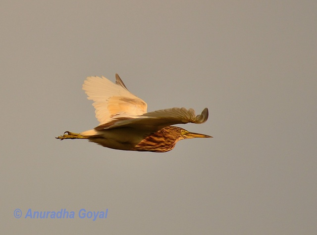 Indian Pond Heron bird in-flight