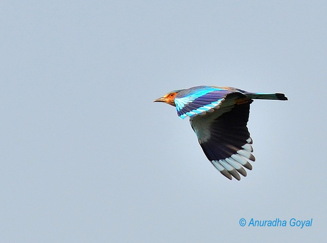 Indian Roller in-flight