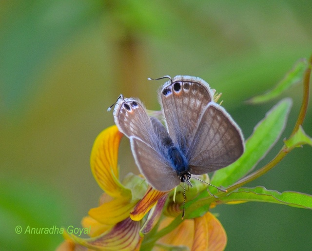 Oriental Forget-me-not Butterfly