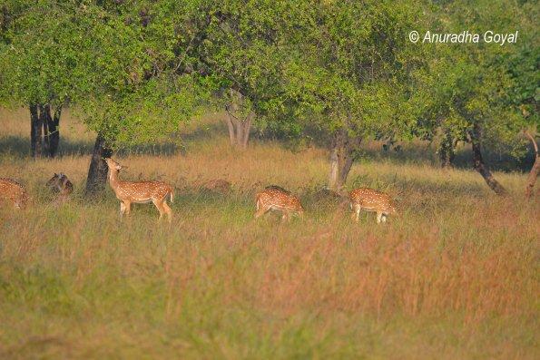Spotted Deers grazing at Satpura
