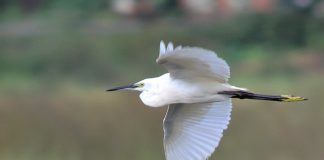 Little Egret in-flight