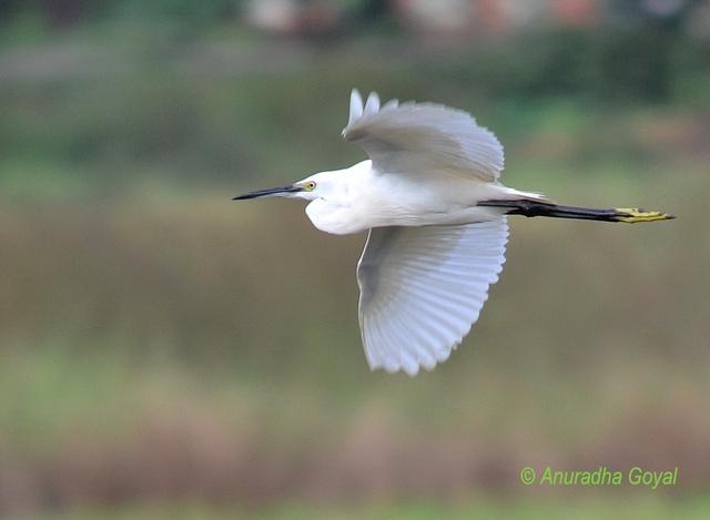 Little Egret in-flight