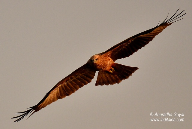 Black Kite bird-in-flight, Goa