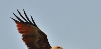 Brahminy Kite in-flight
